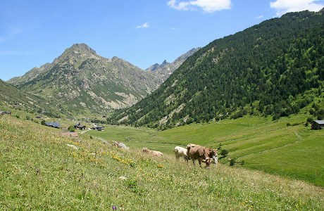 Grasende Kühe im Siscaró-Tal