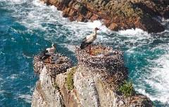 Storchennest auf den Felsspitzen direkt am Meer