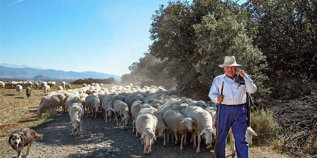 Schafherde auf dem Jakobsweg in der Meseta